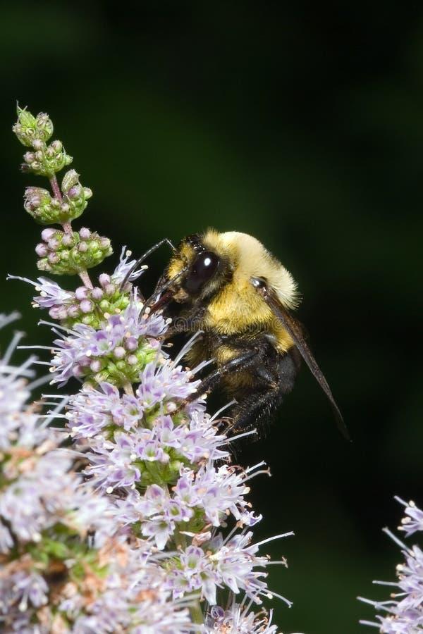 μέλισσα απασχολημένη στοκ φωτογραφίες