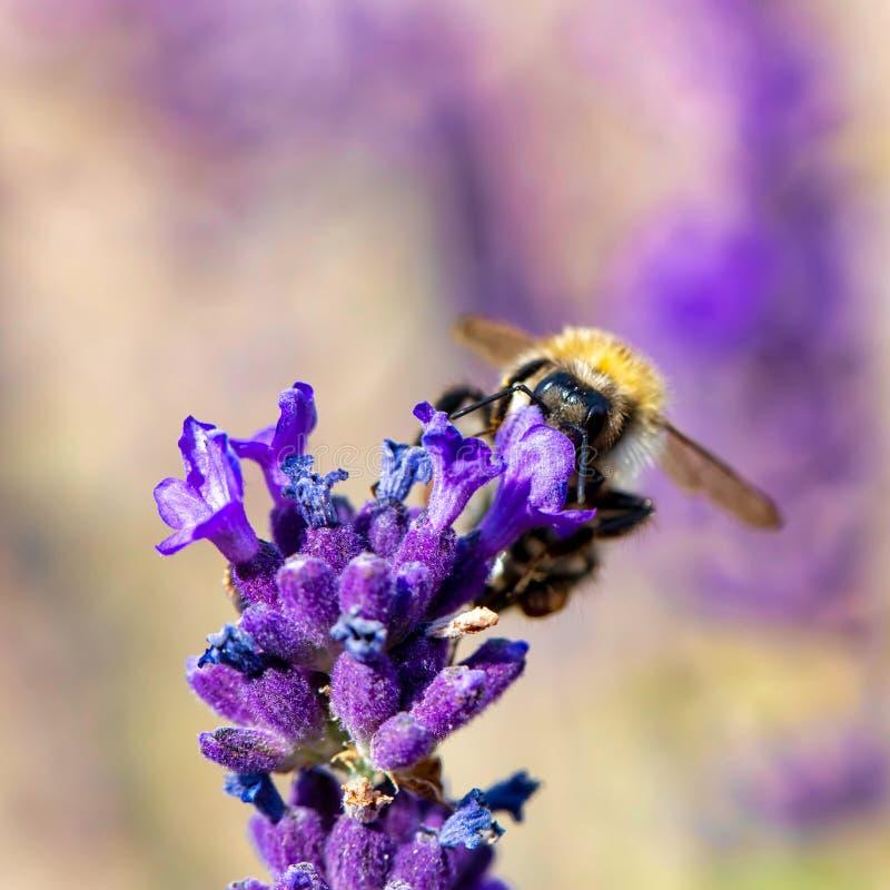 Μέλισσα ιώδες lavender στοκ φωτογραφία