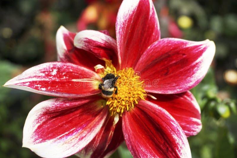 Μέλισσα και ένα κόκκινο λουλούδι στοκ εικόνες