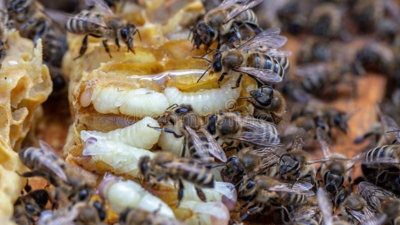 Μέλισσα και μέλισσες μελιού προνυμφών στην κυψέλη μελισσών στοκ εικόνα με δικαίωμα ελεύθερης χρήσης
