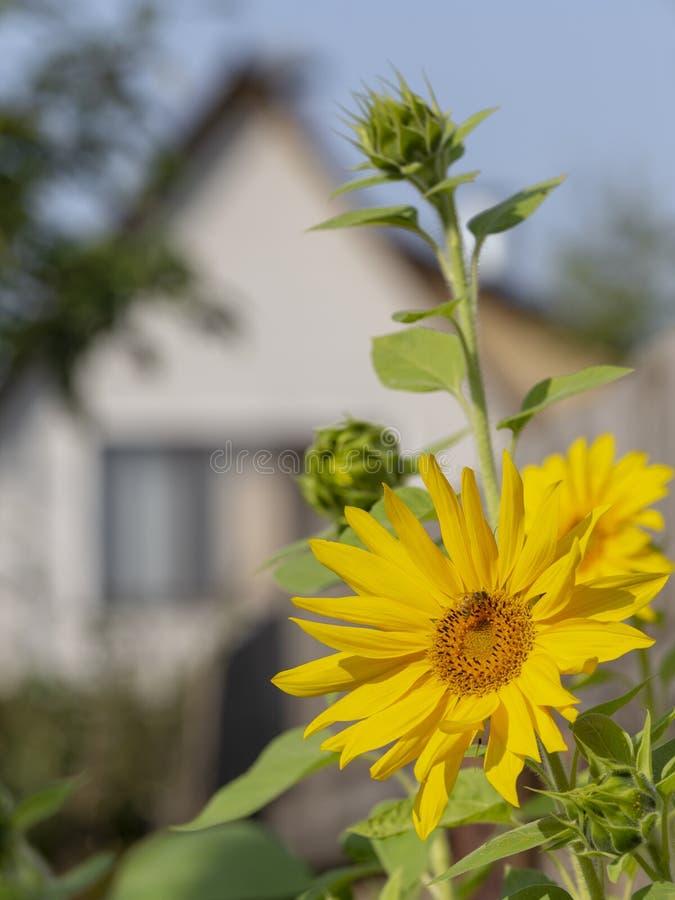 Μέλισσα και σπίτι ηλίανθων στοκ εικόνα