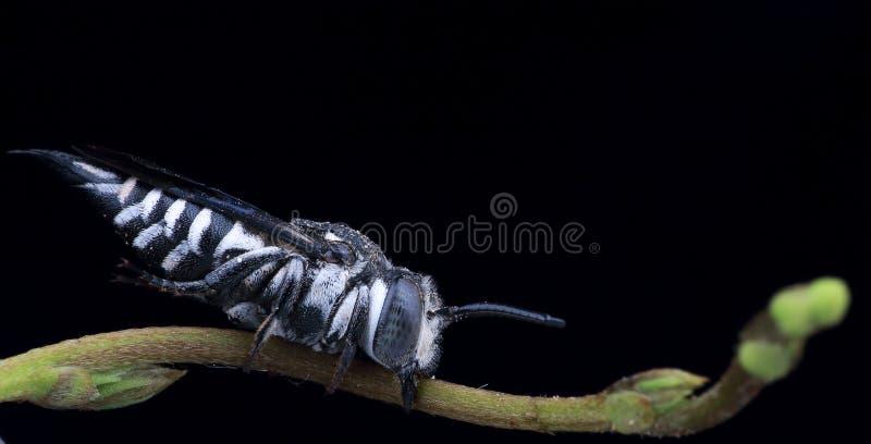 Μέλισσα κοπτών στοκ φωτογραφία με δικαίωμα ελεύθερης χρήσης