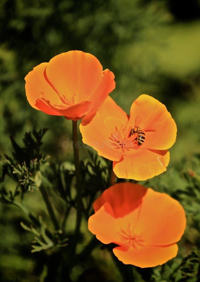 Μέλισσα λουλουδιών παπαρουνών στοκ εικόνες