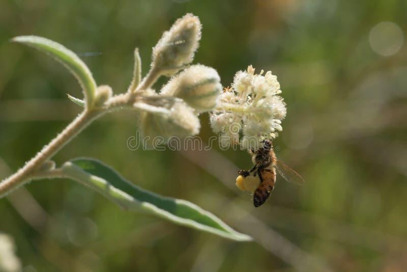 Μέλισσα μελιού με τα πλήρη καλάθια γύρης στο Τέξας Goatweed στοκ φωτογραφία με δικαίωμα ελεύθερης χρήσης