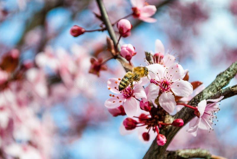 Μέλισσα μελιού που επικονιάζει το ρόδινο λουλούδι sakura, άνθος κερασιών στοκ εικόνες