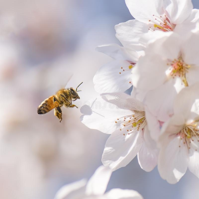 Μέλισσα μελιού που πετά γύρω από το άνθος κερασιών στοκ φωτογραφίες με δικαίωμα ελεύθερης χρήσης