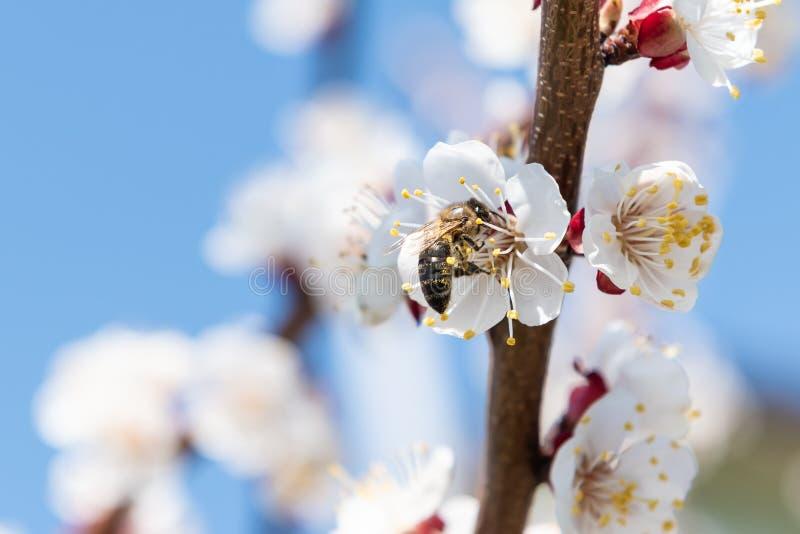 Μέλισσα μελιού που συλλέγει τη γύρη από ένα άνθος δέντρων κερασιών στοκ εικόνες με δικαίωμα ελεύθερης χρήσης