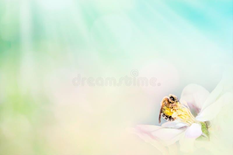 Μέλισσα μελιού στα όμορφα λουλούδια στο αφηρημένο ελαφρύ υπόβαθρο άνοιξη Διάστημα για την παρουσίαση κειμένων διανυσματική απεικόνιση