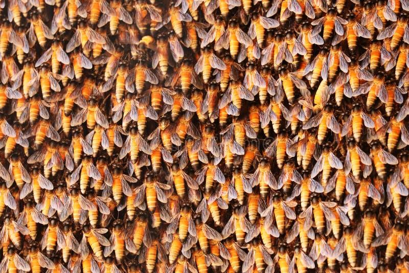Μέλισσα μελιού στην κηρήθρα στοκ εικόνα