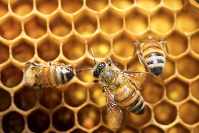 Μέλισσα μελιού στην κυψέλη στη Νοτιοανατολική Ασία στοκ φωτογραφία με δικαίωμα ελεύθερης χρήσης