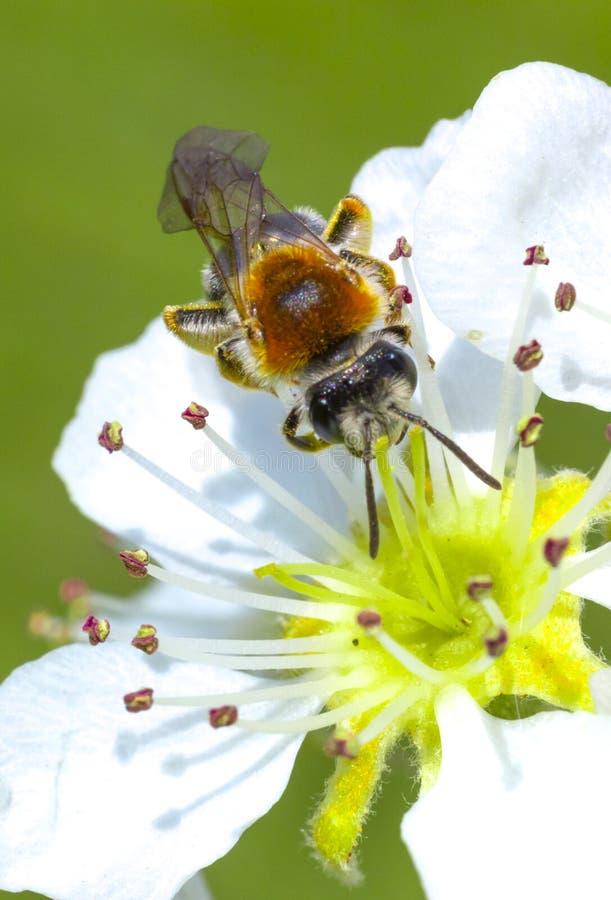 Μέλισσα μελιού στο άσπρο άνθος κερασιών στοκ εικόνες με δικαίωμα ελεύθερης χρήσης