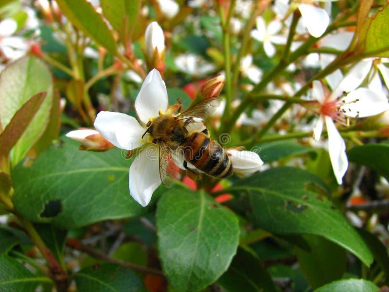 Μέλισσα μελιού στοκ φωτογραφίες