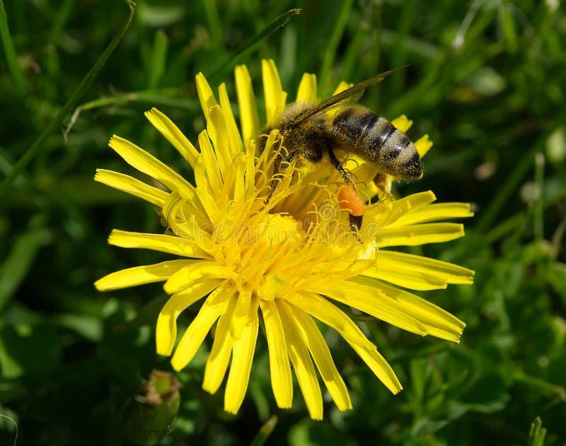 Μέλισσα με τη γύρη σε μια πικραλίδα στοκ φωτογραφία με δικαίωμα ελεύθερης χρήσης