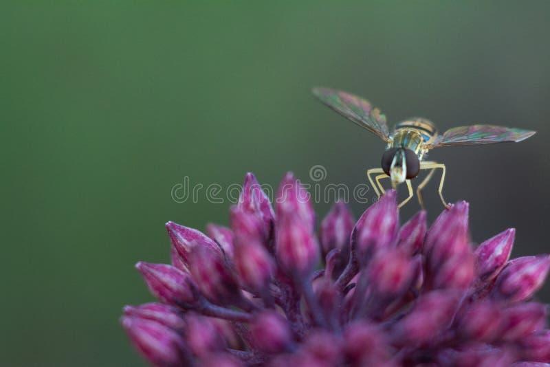 Μέλισσα μυγών λουλουδιών που στηρίζεται στο sedum στοκ εικόνες