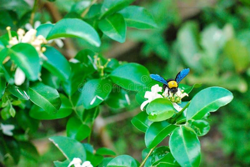 Μέλισσα ξυλουργών με το λουλούδι στοκ εικόνες
