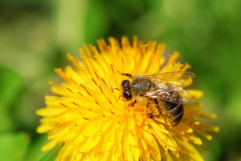 μέλισσα πικραλίδων στοκ φωτογραφίες