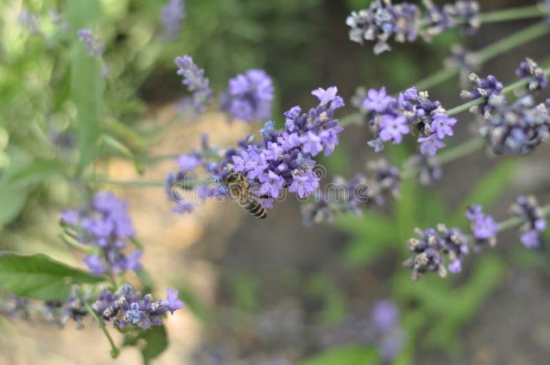 Μέλισσα που επικονιάζει ένα lavender λουλούδι σε ένα κρεβάτι θερινών λουλουδιών για την παραγωγή μελιού στοκ εικόνες με δικαίωμα ελεύθερης χρήσης