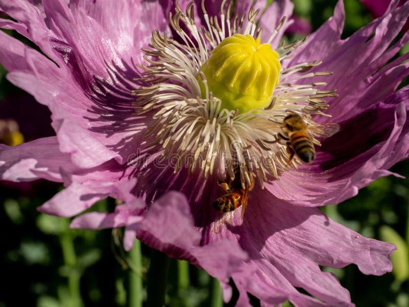 Μέλισσα που επικονιάζει μια παπαρούνα στοκ εικόνες με δικαίωμα ελεύθερης χρήσης