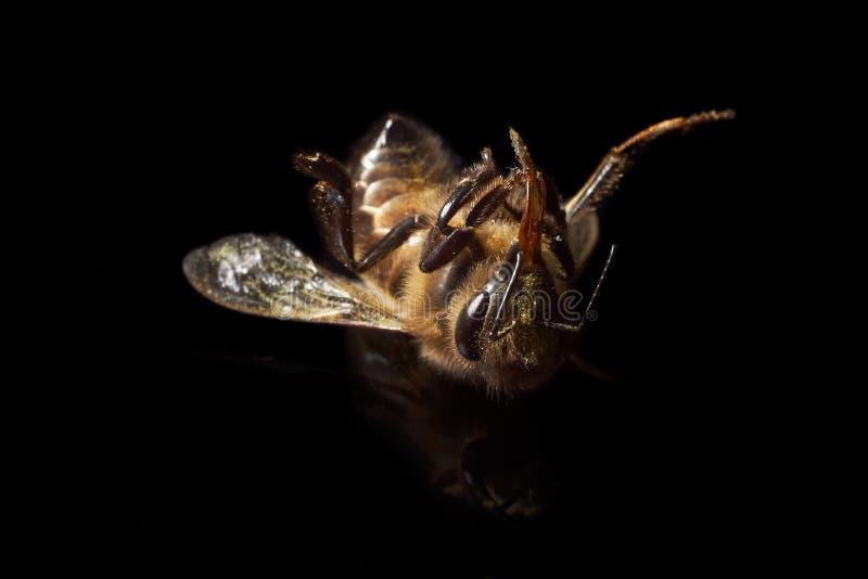 Μέλισσα που πεθαίνει από τις φυσικές αιτίες στοκ φωτογραφία