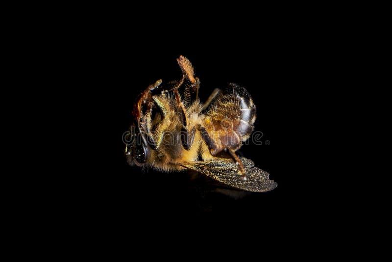 Μέλισσα που πεθαίνει από τις φυσικές αιτίες στοκ εικόνα με δικαίωμα ελεύθερης χρήσης