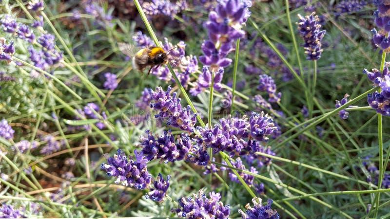Μέλισσα που πετά στα λουλούδια κήπων στοκ εικόνα