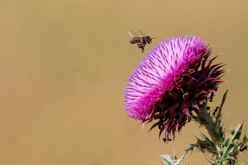 Μέλισσα που προσγειώνεται σε ένα ιώδες λουλούδι στοκ φωτογραφία