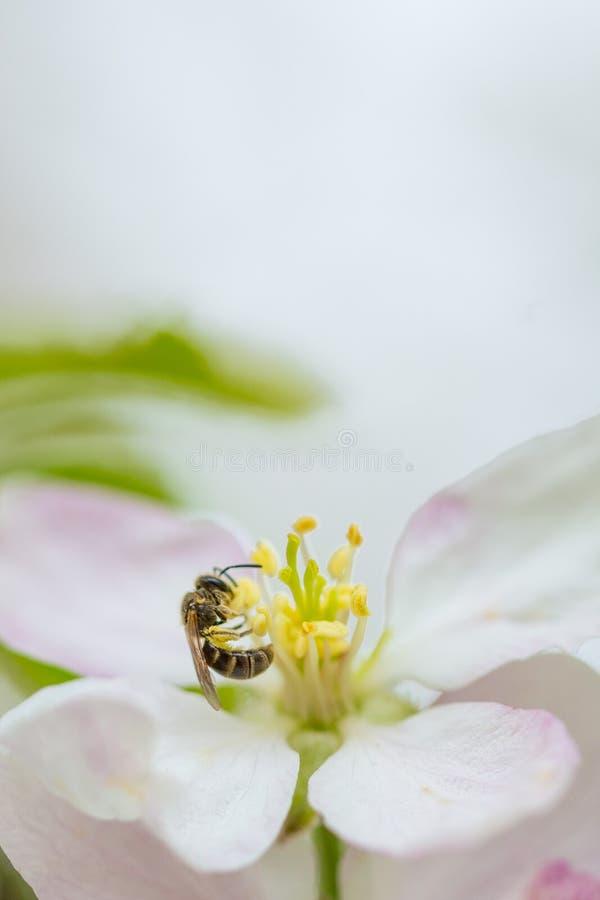 Μέλισσα που συλλέγει τη γύρη στο ανθίζοντας λουλούδι δέντρων μηλιάς στην άνοιξη Άνθιση δέντρων της Apple στοκ εικόνα