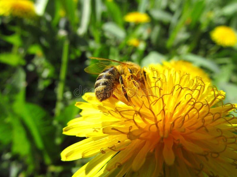 Μέλισσα που συλλέγει τη γύρη στο λουλούδι πικραλίδων r στοκ φωτογραφίες