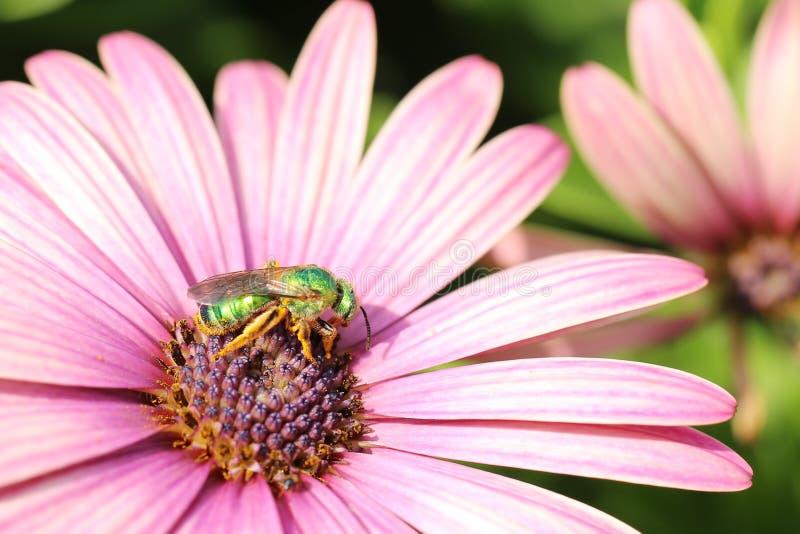 Μέλισσα που συλλέγει τη γύρη στο πορφυρό λουλούδι στοκ εικόνα με δικαίωμα ελεύθερης χρήσης