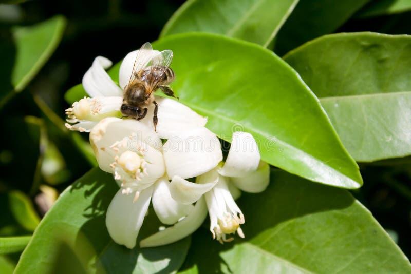 μέλισσα που συλλέγει τη στοκ εικόνες