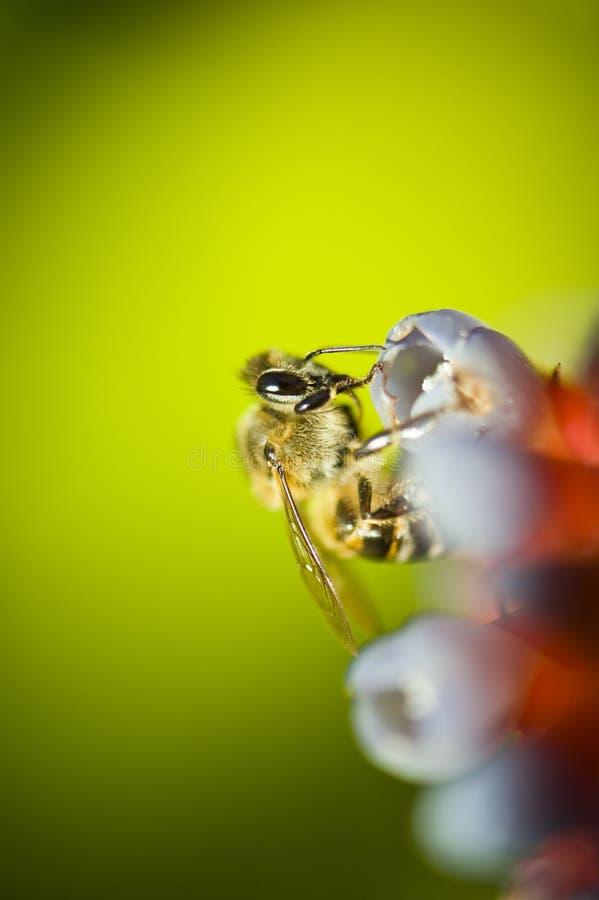 μέλισσα που φαίνεται νέκτ&alp στοκ φωτογραφίες με δικαίωμα ελεύθερης χρήσης