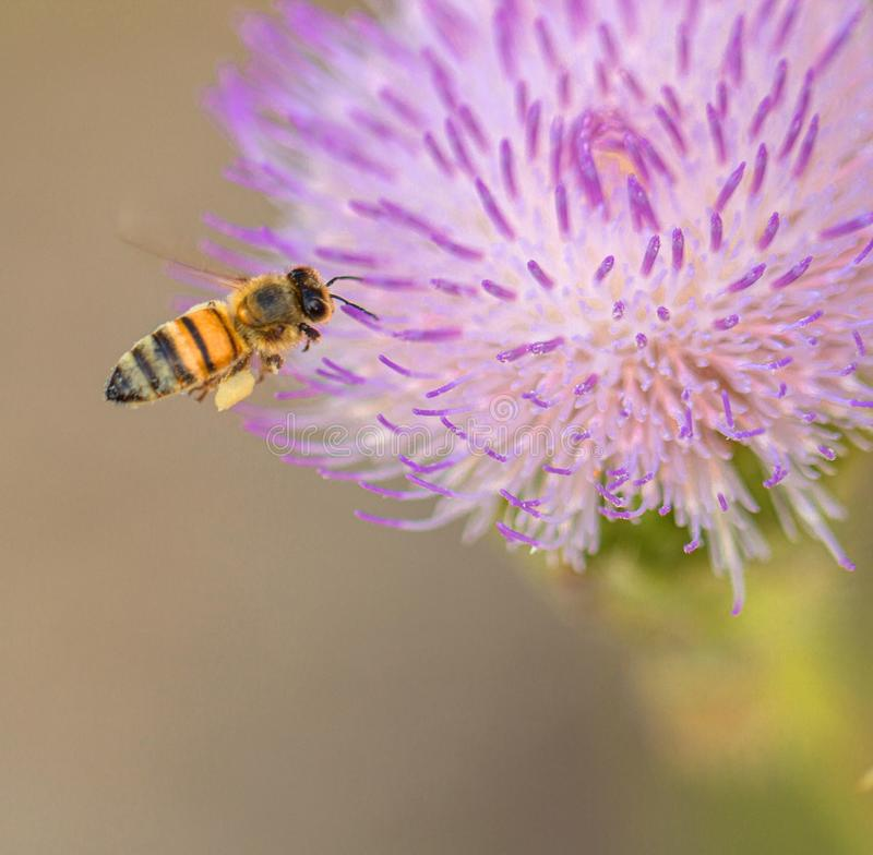 Μέλισσα που ψάχνει το νέκταρ στο πορφυρό λουλούδι, Φλώριδα στοκ εικόνα με δικαίωμα ελεύθερης χρήσης