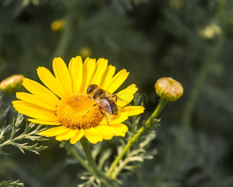 Μέλισσα σε έναν ηλίανθο στοκ εικόνες