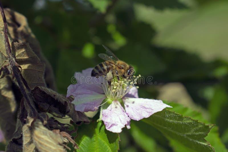Μέλισσα σε ένα λουλούδι βατόμουρων στοκ εικόνα με δικαίωμα ελεύθερης χρήσης