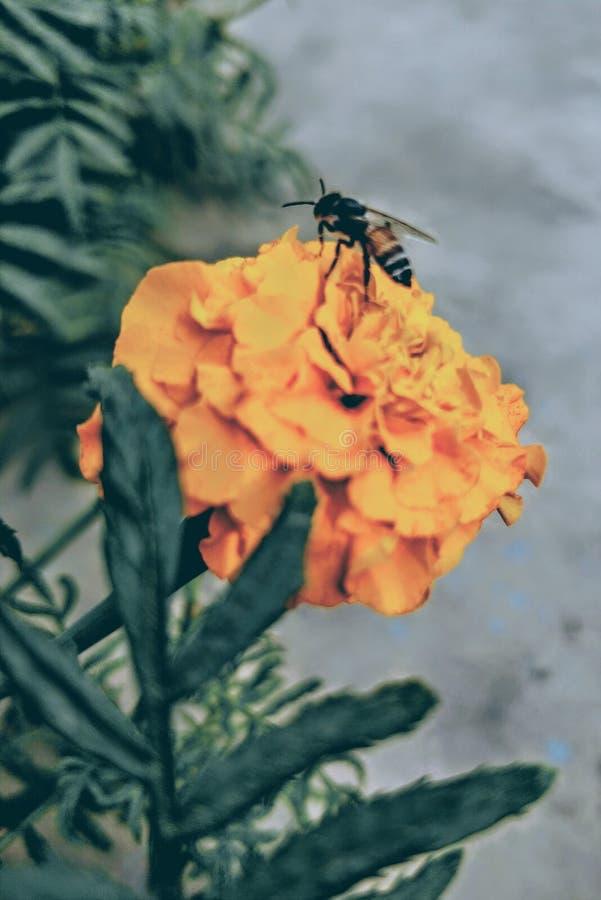 Μέλισσα σε ένα Marigold λουλούδι στοκ φωτογραφίες με δικαίωμα ελεύθερης χρήσης