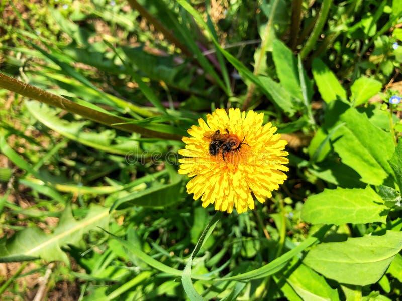 μέλισσα σε μια κίτρινη πικραλίδα στον τομέα στοκ εικόνες με δικαίωμα ελεύθερης χρήσης