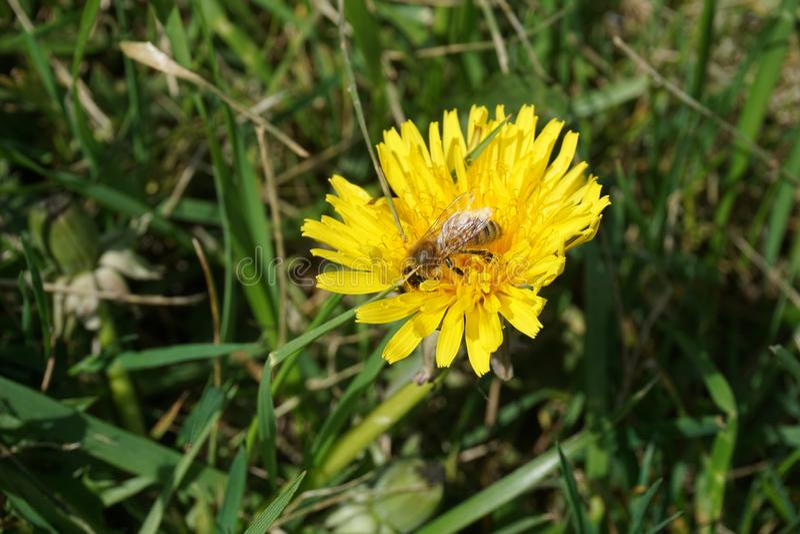 Μέλισσα σε μια πικραλίδα 12 στοκ εικόνα με δικαίωμα ελεύθερης χρήσης