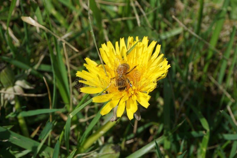 Μέλισσα σε μια πικραλίδα 11 στοκ εικόνα