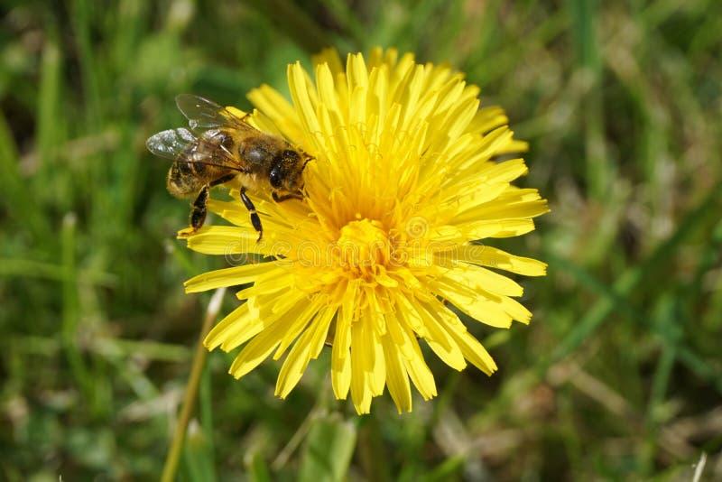 Μέλισσα σε μια πικραλίδα 10 στοκ φωτογραφίες