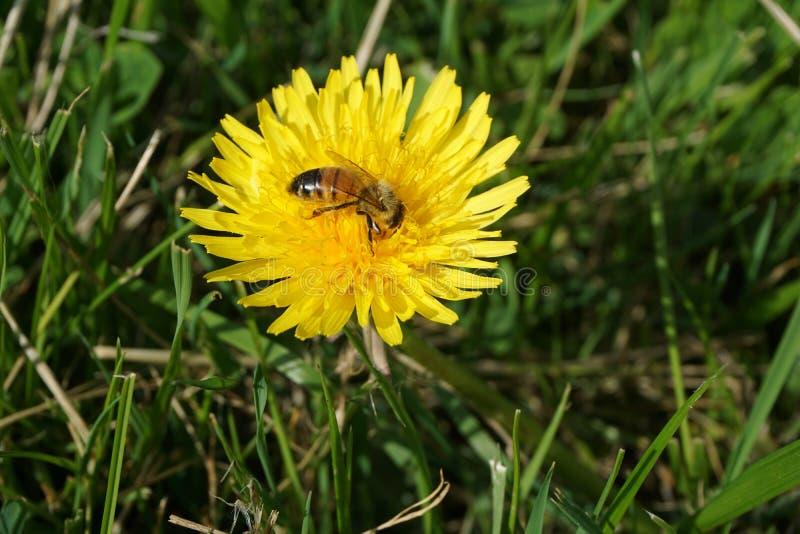 Μέλισσα σε μια πικραλίδα 9 στοκ φωτογραφίες