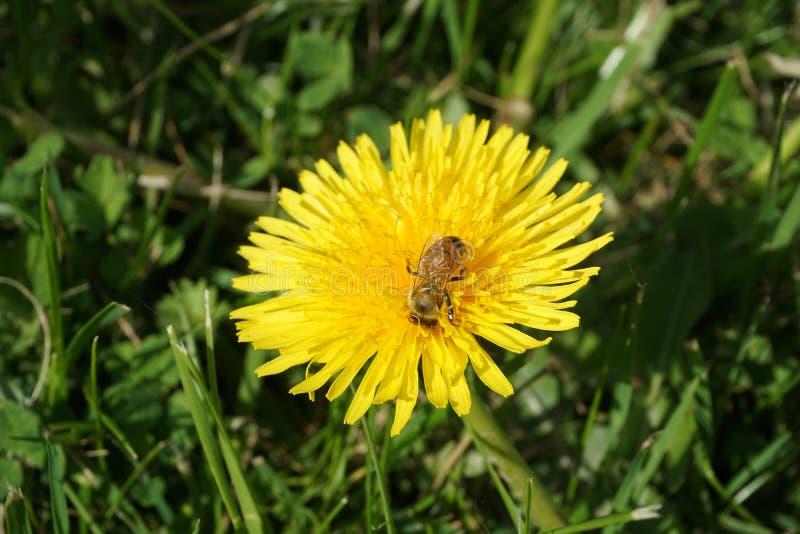 Μέλισσα σε μια πικραλίδα 8 στοκ εικόνες