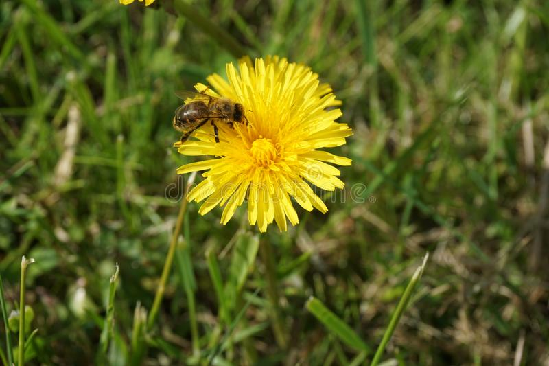 Μέλισσα σε μια πικραλίδα 7 στοκ εικόνες