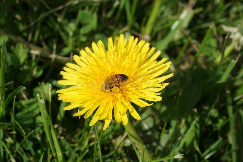 Μέλισσα σε μια πικραλίδα 4 στοκ φωτογραφία