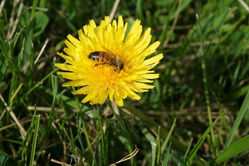 Μέλισσα σε μια πικραλίδα 5 στοκ εικόνες
