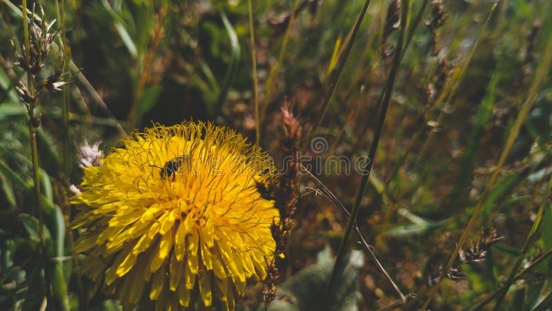 Μέλισσα σε μια πικραλίδα στοκ εικόνες με δικαίωμα ελεύθερης χρήσης