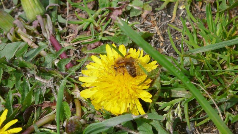 Μέλισσα σε μια πικραλίδα 2 στοκ φωτογραφίες