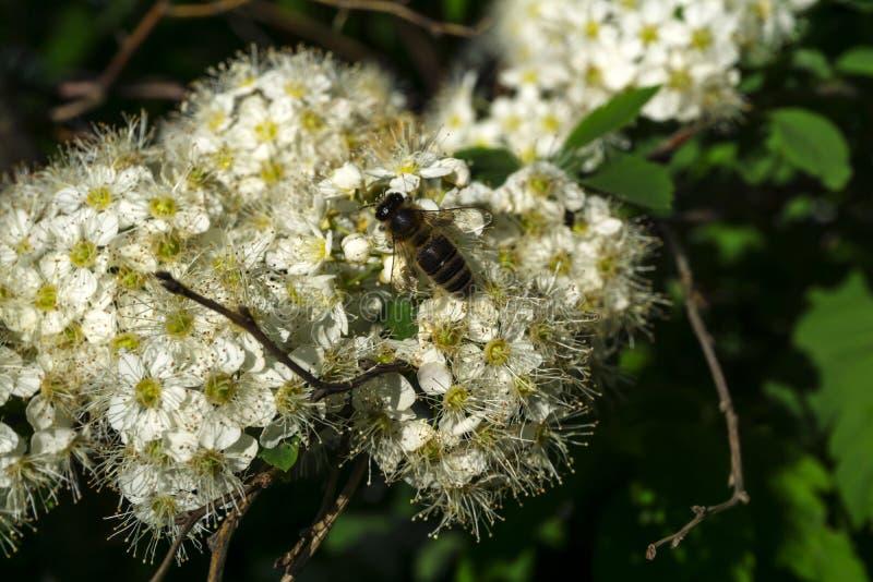 Μέλισσα στα άσπρα λουλούδια στοκ εικόνες με δικαίωμα ελεύθερης χρήσης