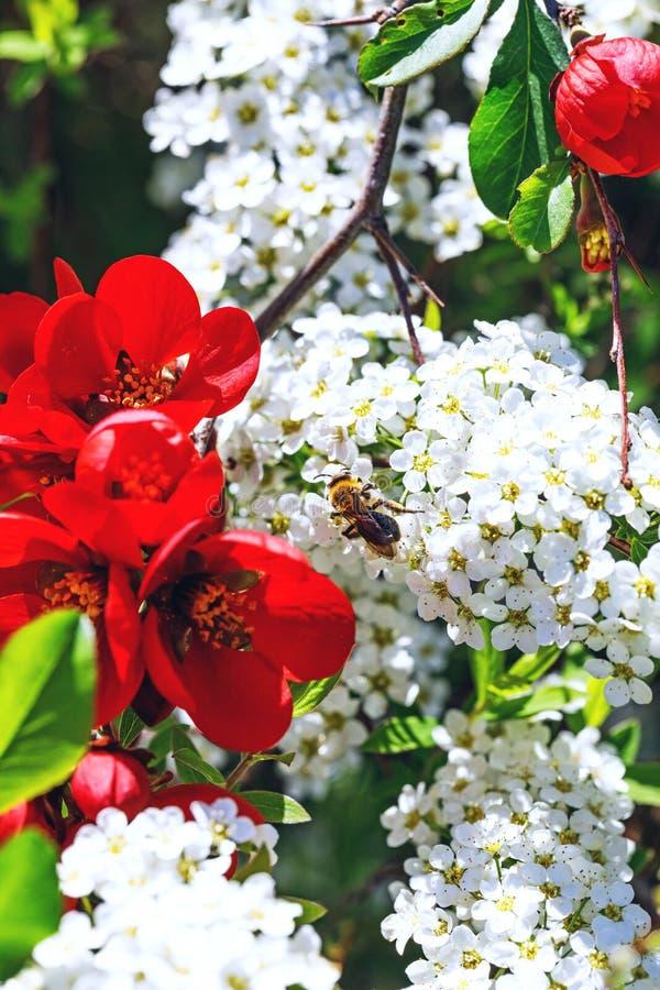 Μέλισσα στα λουλούδια του spiraea φαιάς ουσίας, κοντά στα κόκκινα λουλούδια κουδουνιών στοκ φωτογραφία