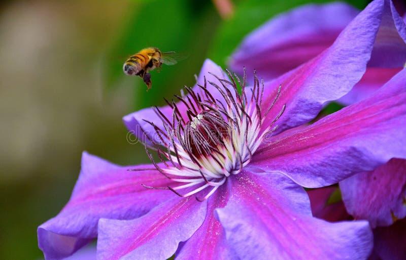 Μέλισσα στα clematis στοκ εικόνα