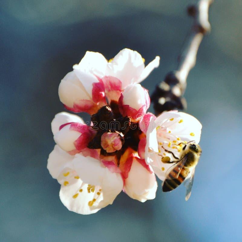 Μέλισσα στην εργασία στοκ φωτογραφίες